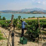 Sambuca di Sicilia: I Turisti partecipano alla vendemmia